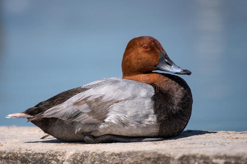 Common pochard male Aythya ferina. Duck resting on a concrete slab. royalty free stock photo