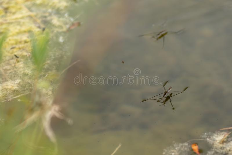 Several common pond skater on the water surface Gerris lacustris. It is held by the force of the water tension. Gerridae. Common pond skater on the water surface stock photo