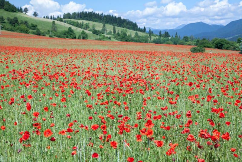 Common poppy stock images