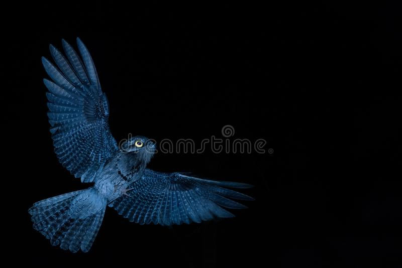 Common Potoo,Nyctibius griseus, nocturnal bird with yellow eyes in flight during night, hunting for insects. Outstretched wings stock photography
