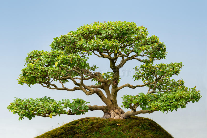 Common Privet bonsai royalty free stock images