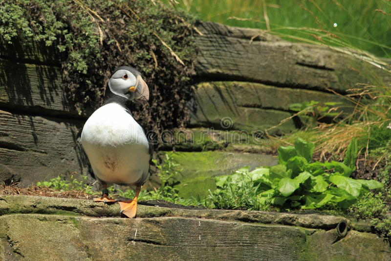 Common Puffin Royalty Free Stock Images