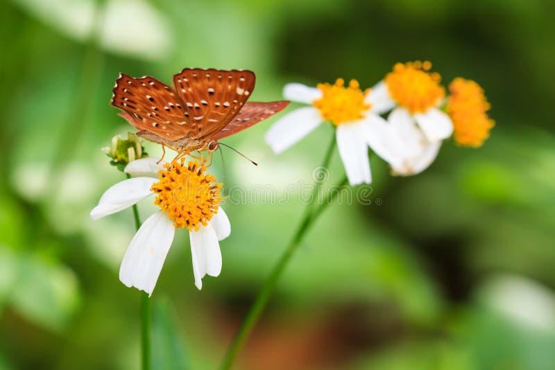 Common punchinello on orange flower royalty free stock photography