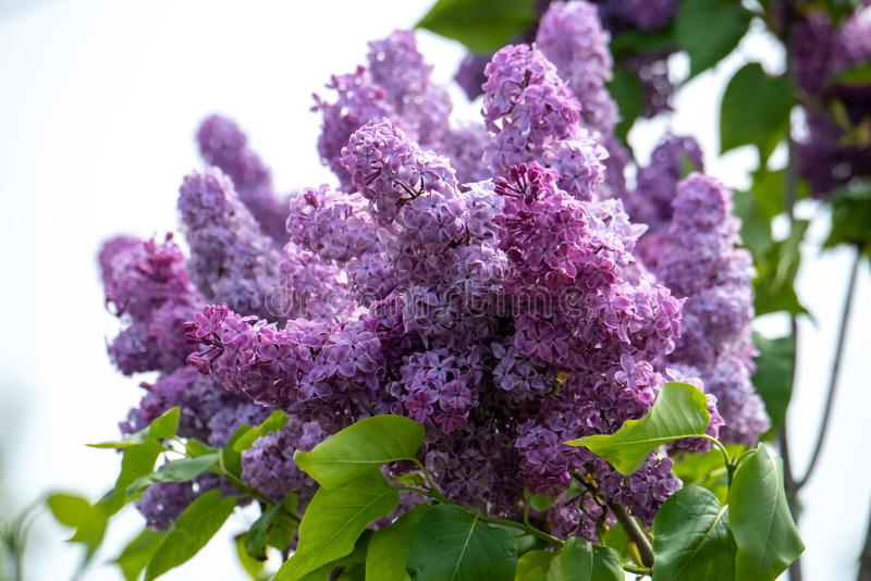 Common purple lilac flowers close up in spring time stock photos