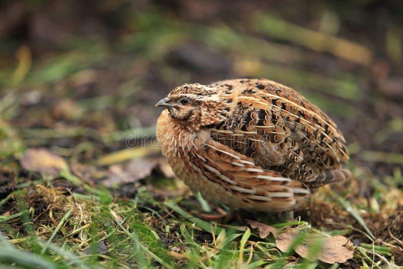 Common quail. The common quail in the grassland