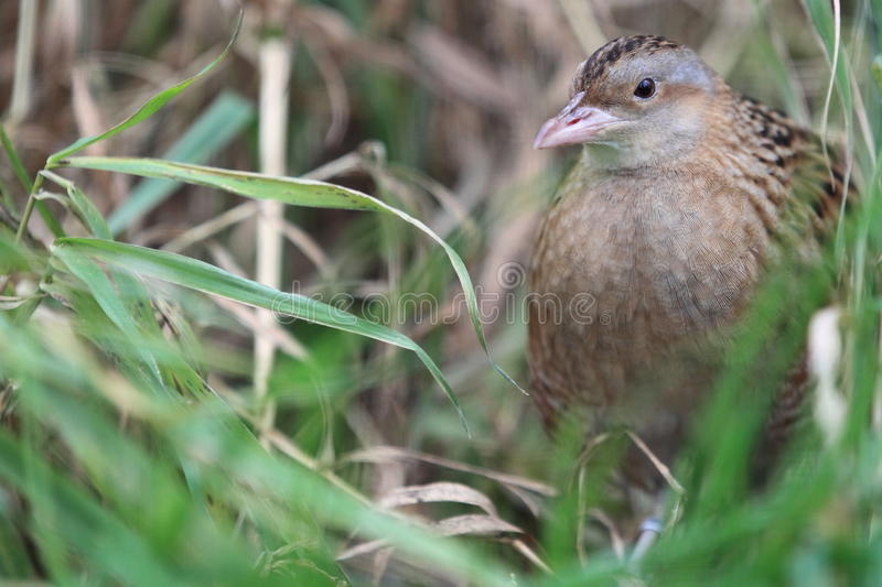 Common quail. In the grass royalty free stock photography