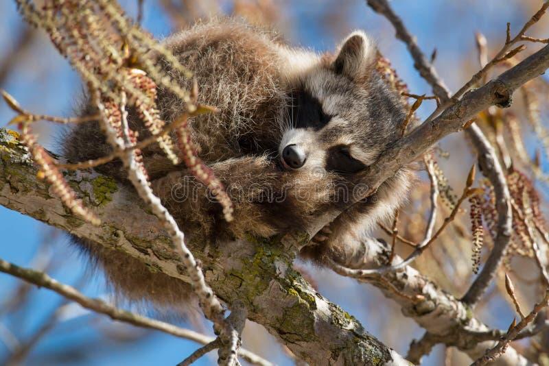 Common Raccoon royalty free stock photography