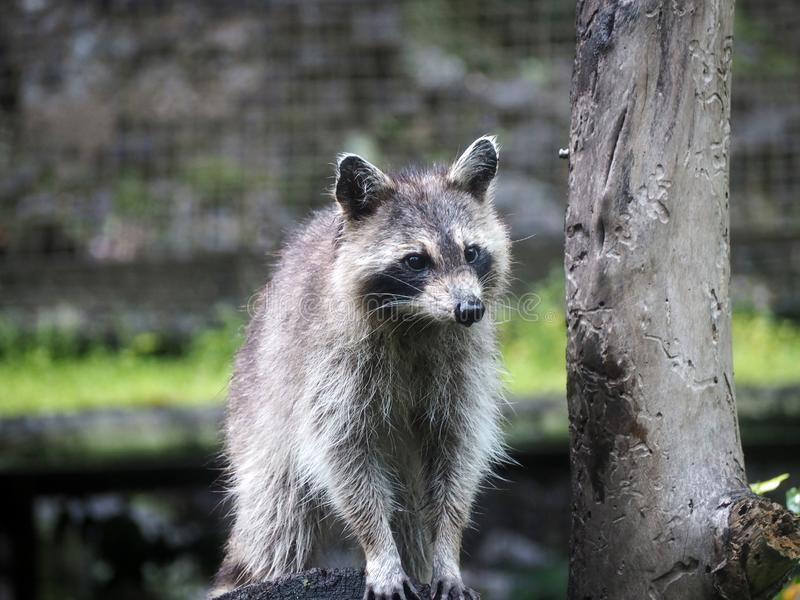 A raccoon looks away, from the top of his tree trunk. The common raccoon is a species of omnivorous mammals of the order of carnivores. Native to America, it stock image