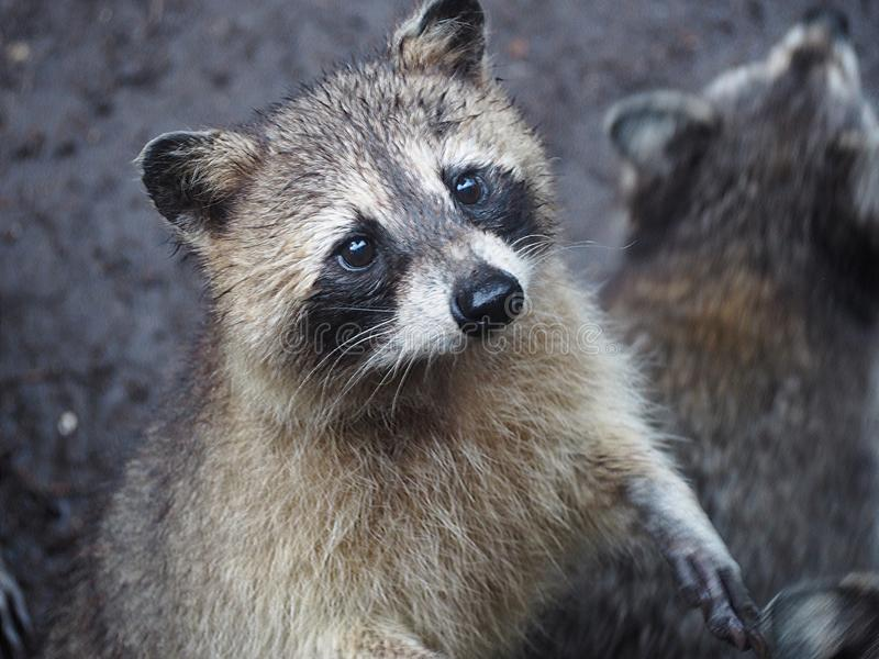 Raccoon looking for a little candy in the zoo of Martinique. The common raccoon is a species of omnivorous mammals of the order of carnivores. Native to America royalty free stock photography