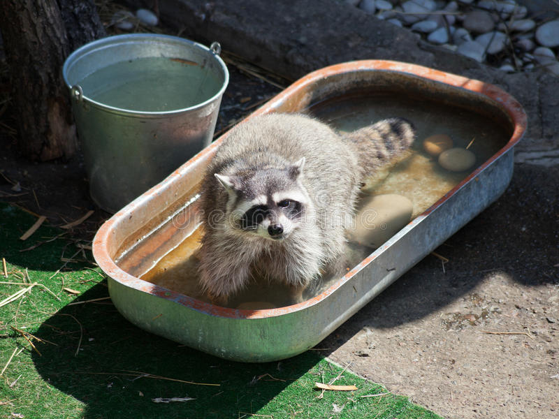 Common raccoon in trough of water royalty free stock photo