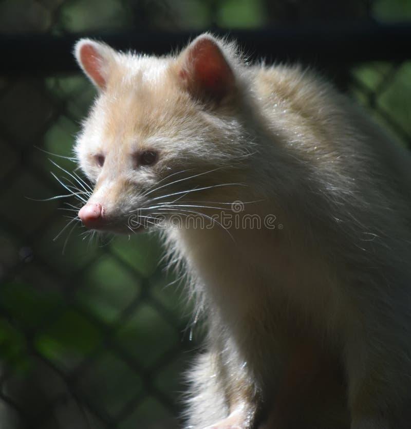 Common Raccoon with Unusual White Fur stock photo
