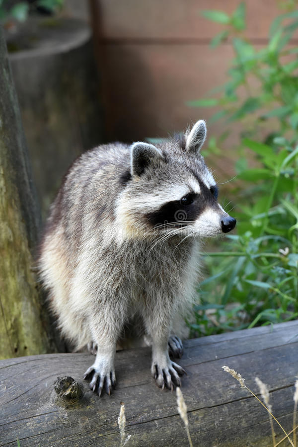 Common racoon royalty free stock photos