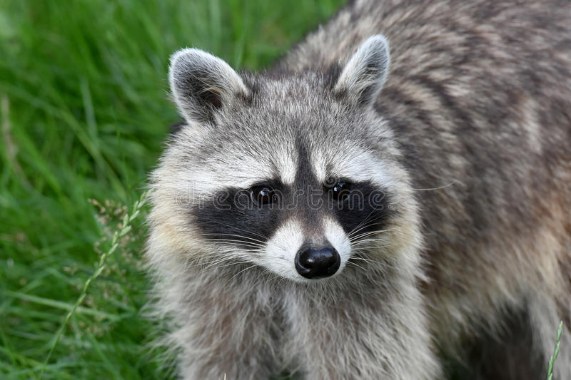 Common racoon royalty free stock photo