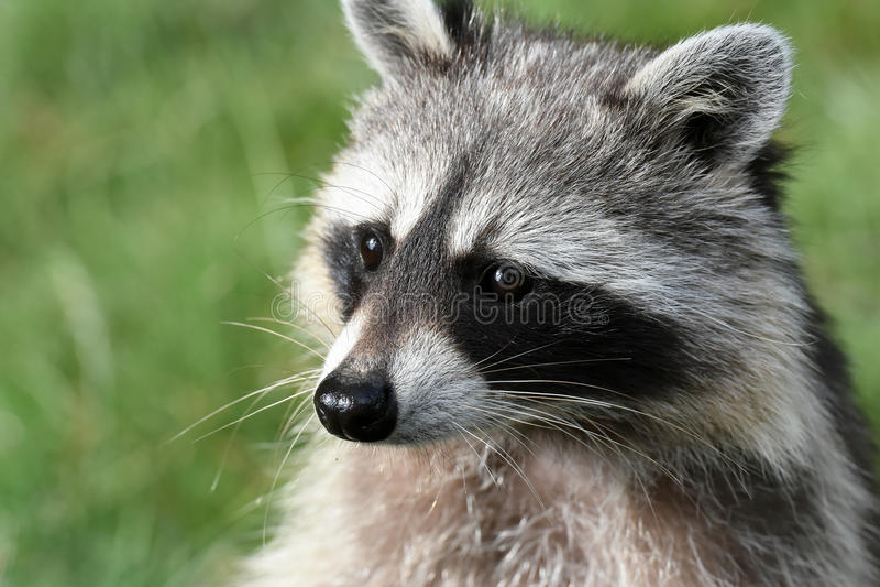 Common racoon stock photo