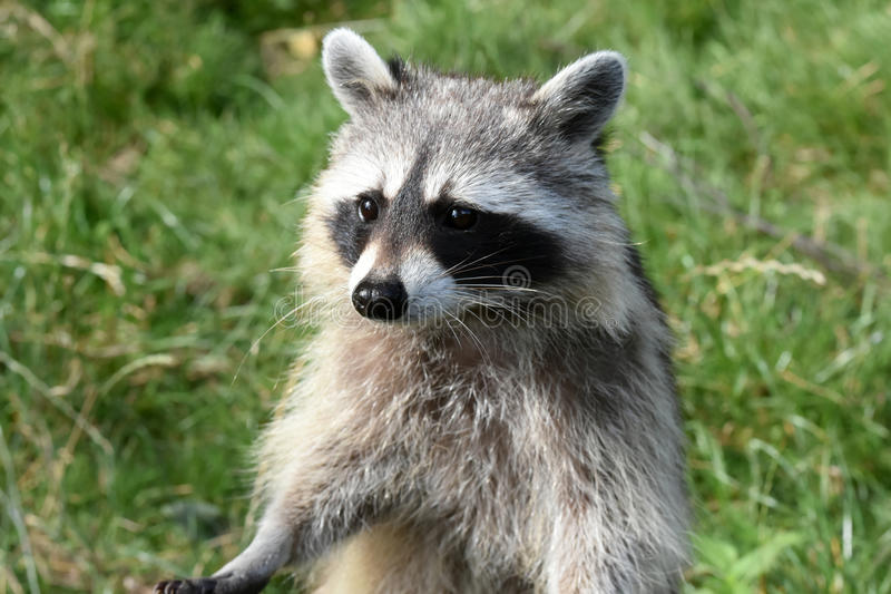Common racoon royalty free stock images