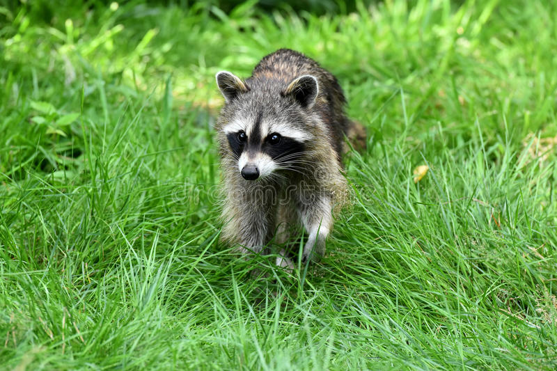 Common racoon royalty free stock image