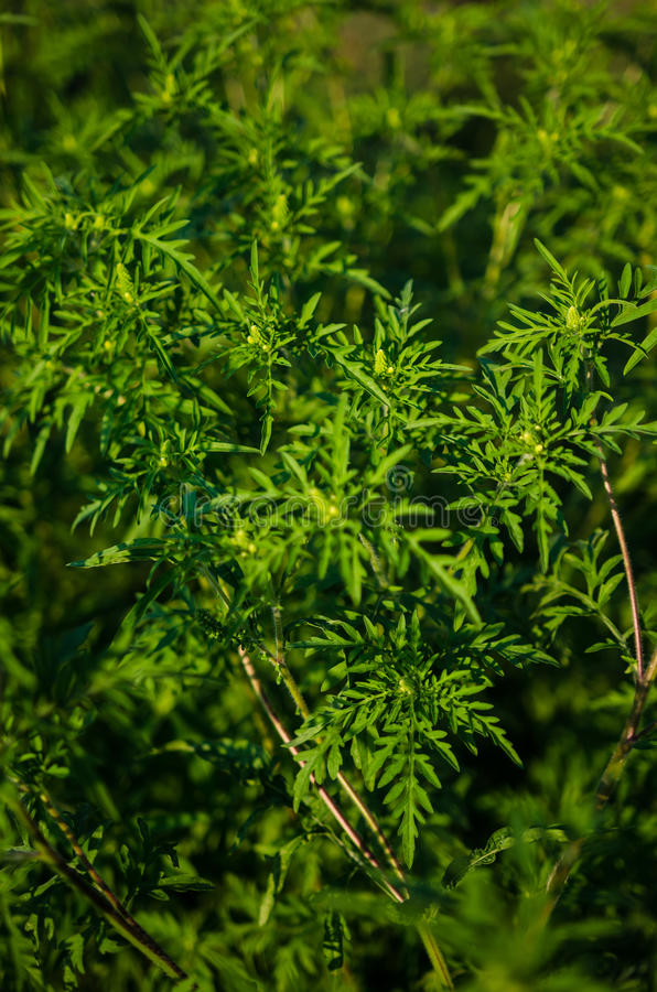 Free Common Ragweed, Ambrosia Bush Royalty Free Stock Images - 43382569