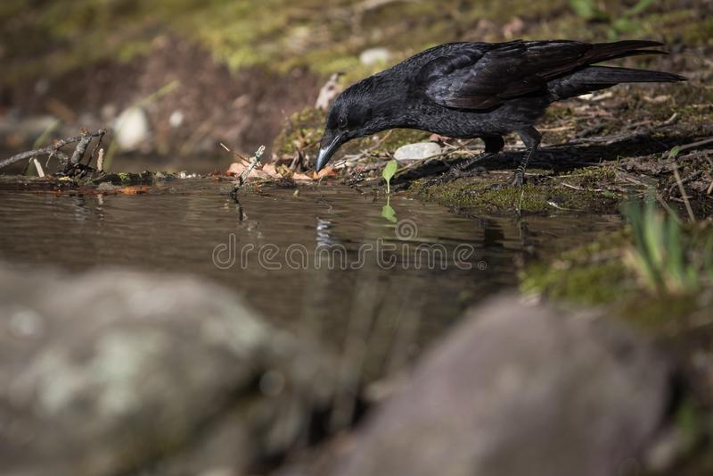 Common rauben Etwas trinken des Süßwassers von einem kleinen Strom in den Bergen - stockfoto