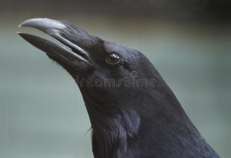 Download Common raven stock image. Image of claw, portrait, animal - 13626053