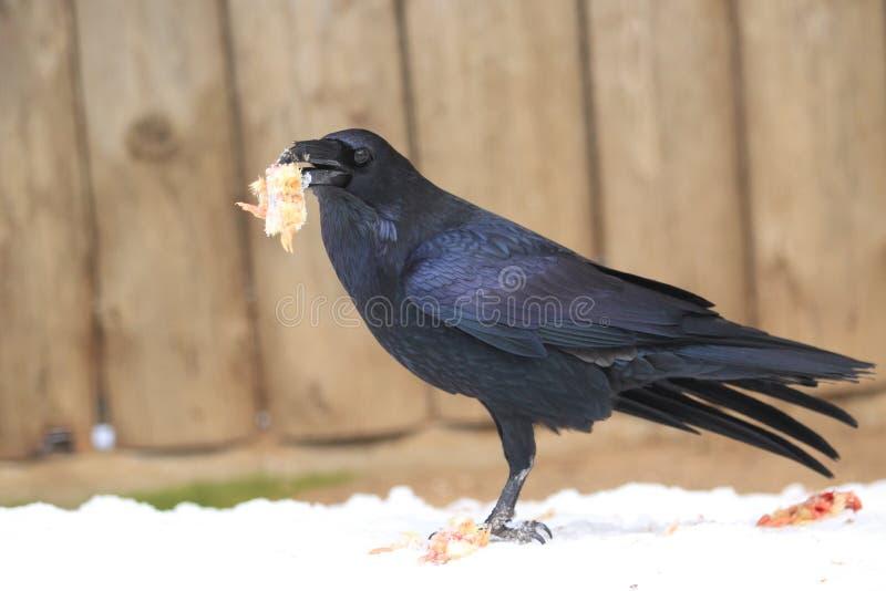 Common raven stock image