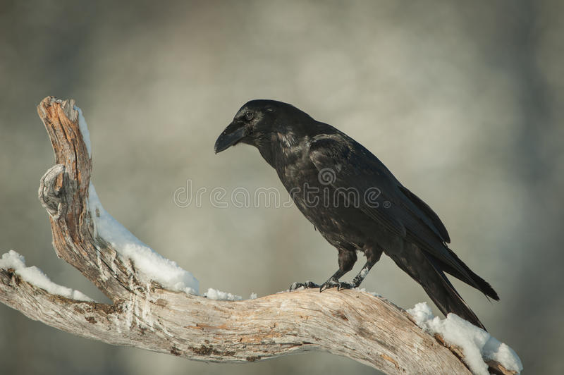Download Common Raven Stock Photo - Image: 29298720