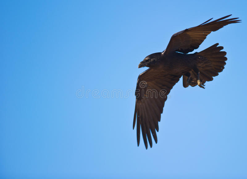 A Common Raven controlling his flight royalty free stock photography