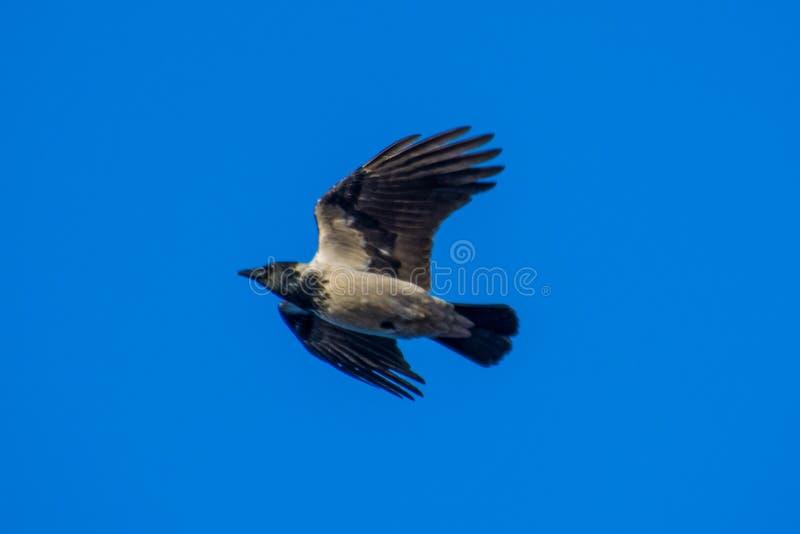 The common raven Corvus corax flying. Yamal. Arctic nature. Blue sky stock photos