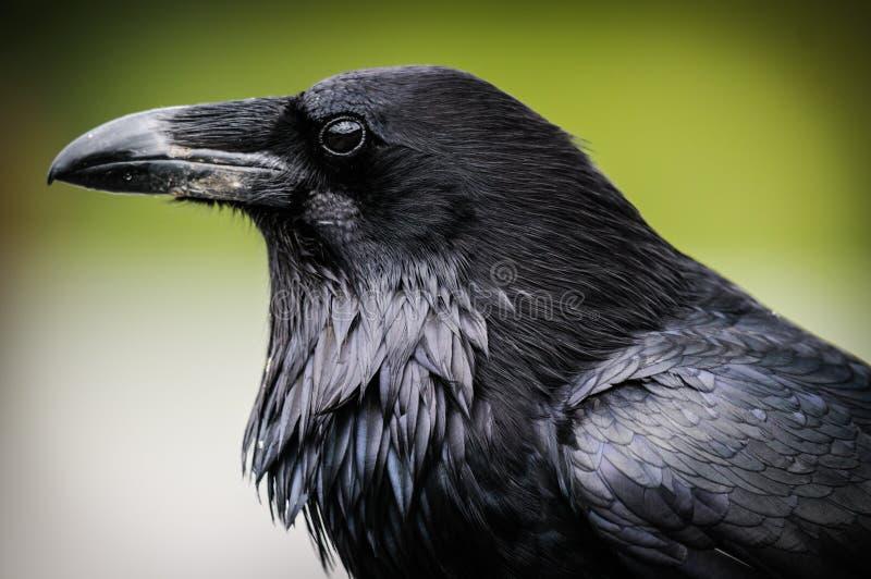 Common Raven (Corvus corax). Common Raven, Jasper National Park Alberta Canada stock photography