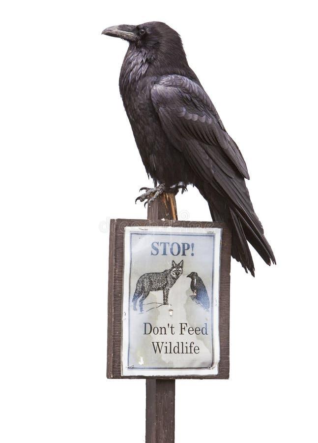 Common raven Corvus corax sign isolated stock photos
