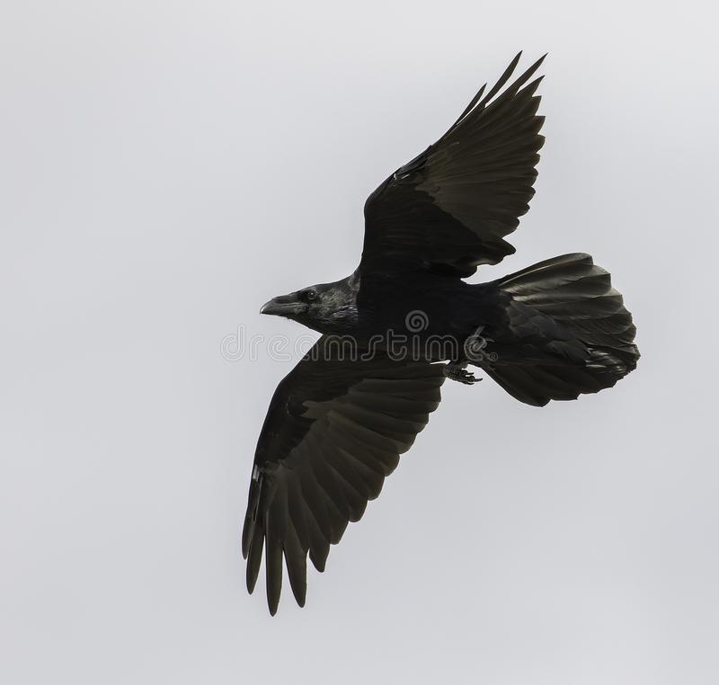 Common Raven Flies i Alaska arkivfoton