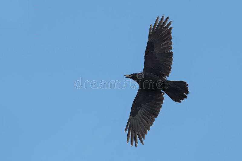 Common Raven royalty free stock photo