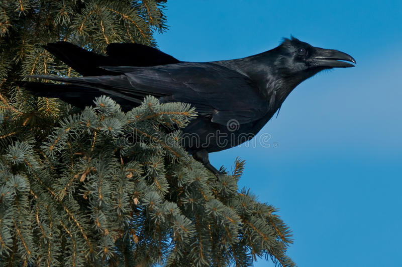 Common Raven royalty free stock photography