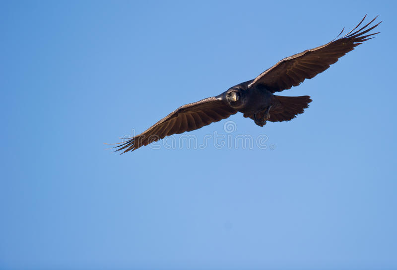 A Common Raven watching from above royalty free stock image