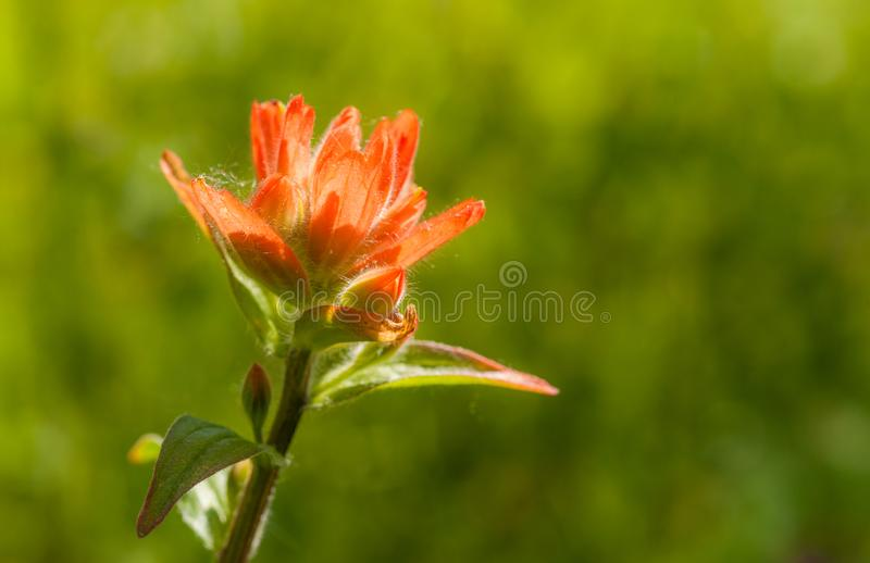 Common Red Paintbrush. A common red paintbrush plant is portrayed against a blurred green background of a meadow stock photo
