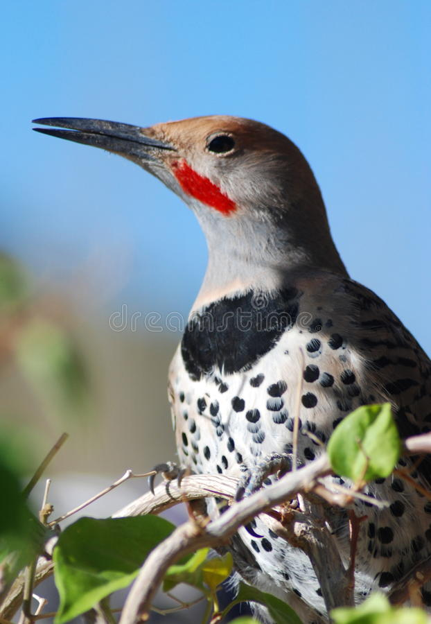 Free Common (Red Shafted) Flicker Royalty Free Stock Images - 11846529