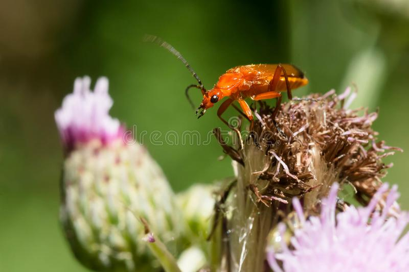 Common Red Soldier Beetle - Rhagonycha fulva. Common Red Soldier Beetle perched on a dead Thistle flower. Also known as a Bloodsucker Beetle. Taylor Creek Park royalty free stock photos