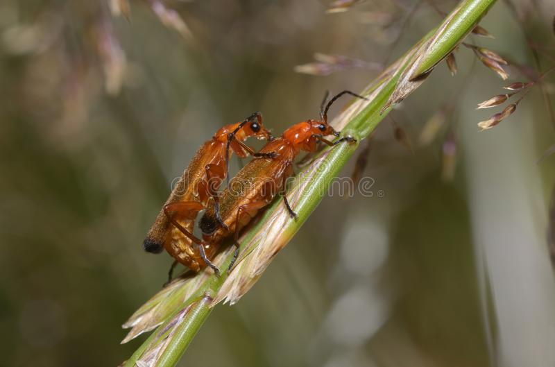 Common red soldier beetles mating royalty free stock photography