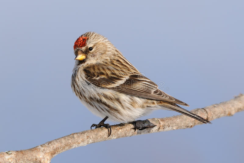 Common redpoll. Backyard bird perched on a branch royalty free stock images