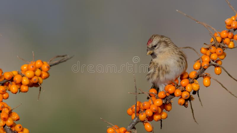 Common Redpoll - Acanthis flammea. At a bird feeder in winter time stock images
