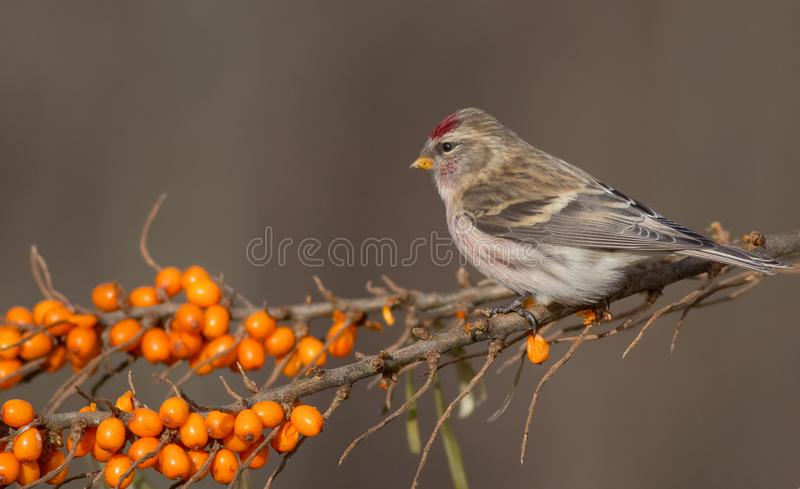 Common Redpoll - Acanthis flammea. At a bird feeder in winter time royalty free stock images