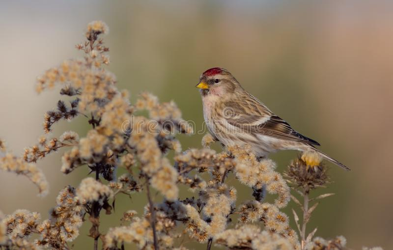 Common Redpoll - Acanthis flammea. / at a bird feeder in winter time stock photo