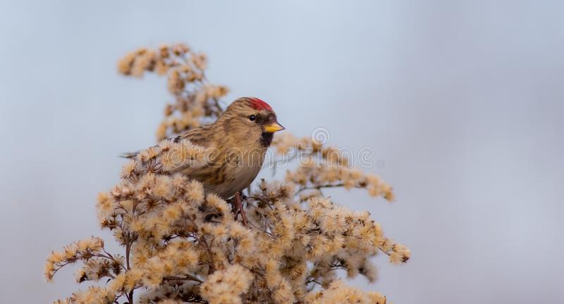 Common Redpoll - Acanthis flammea. / at a bird feeder in winter time royalty free stock image