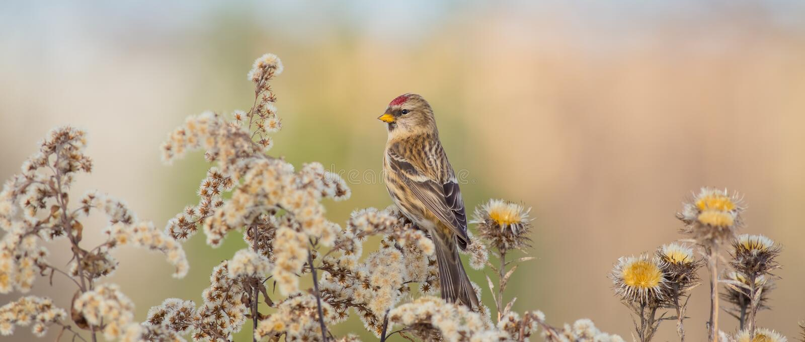 Common Redpoll - Acanthis flammea. / at a bird feeder in winter time stock images