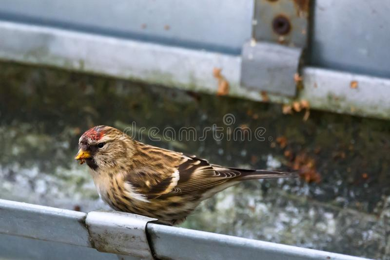 The common redpoll Acanthis flammea bird. In garden on roof rain drainage system during winter time royalty free stock photography
