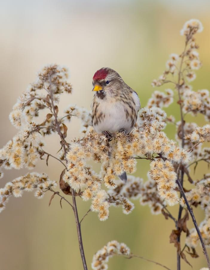 Common Redpoll - Acanthis flammea / Carduelis flammea. In winter season royalty free stock photography
