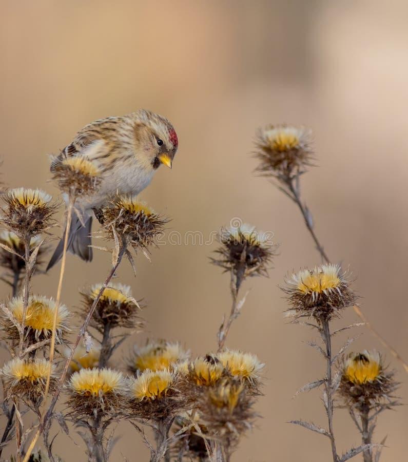 Common Redpoll - Acanthis flammea / Carduelis flammea. In winter season stock photo
