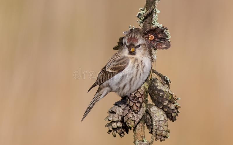 Common Redpoll - Acanthis flammea. At a bird feeder in winter time royalty free stock photography