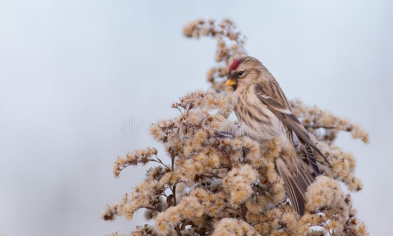 Common Redpoll - Acanthis flammea. / at a bird feeder in winter time stock photography