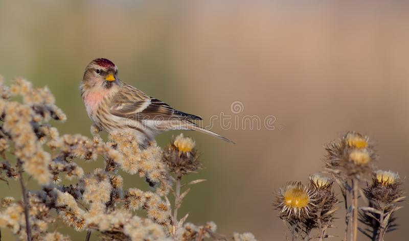 Common Redpoll - Acanthis flammea. / at a bird feeder in winter time royalty free stock photos