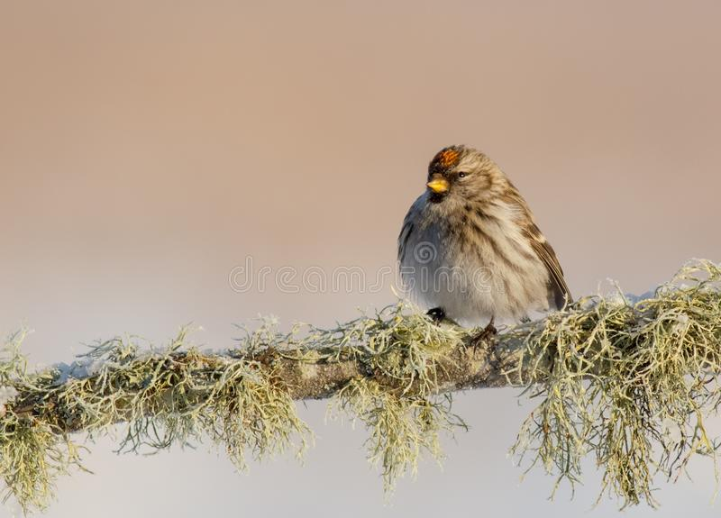 Common redpoll - Acanthis flammea. At a wetland on frosty winter day stock photography